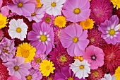 Colourful sea of flowers with marigolds, cosmea and dahlias in pink, white, yellow and red