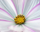 Pink and pale blue cosmea flower with yellow stamens (detail)