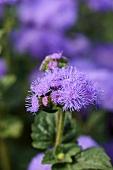 Blaue Leberbalsamblüten im Garten (Nahaufnahme)