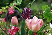 Snake's head fritillary and pink tulips in spring garden