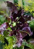 Flowering lettuce