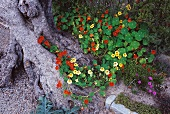 Flowering nasturtiums at foot of gnarled old tree
