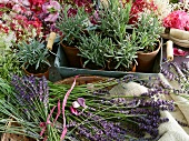 Flowering lavender and lavender plants in pots