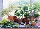 Still-life of potted herbs on window sill: myrtle, bay, thyme and lady's mantel