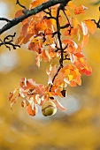 Pear tree branch with bright autumn leaves and a single pear
