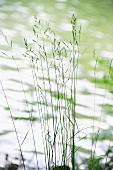 Delicate grasses on shore of lake