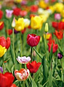 Field of colourful tulips