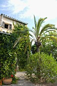 Palm tree in Mediterranean garden of climber-covered house