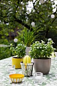 Kitchen utensils and pots of basil on table in garden