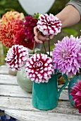 Arranging summer bouquet of dahlias