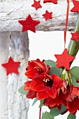 Christmas arrangement of red amaryllis flowers (variety; Rapido) and red felt stars