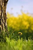Dandelion on lawn next to tree trunk