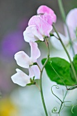 Lilac sweet pea flowers