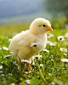 A chick on a field surrounded by daisies