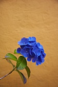 Blue hydrangea flower against ochre-coloured wall
