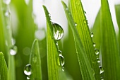 Droplets of water on blades of grass