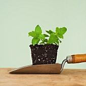 Close up of mint seedling on shovel, studio shot