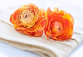 Studio shot of orange Ranunculus on napkin