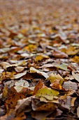 Many autumn leaves (whole picture)