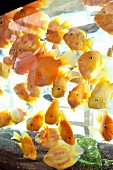 Yellow fish in aquarium