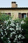 White-flowering bush in front of stone, Mediterranean house