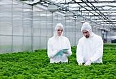 Wissenschafter im Gewächshaus untersuchen Petersilienpflanzen