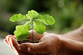 Germany, Bavaria, Oak seedling in human hand