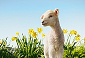 Little lamb in a field of daffodils