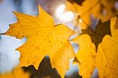 Gelbe Ahornblätter im herbstlichen Sonnenlicht