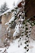 Schnee und kleine Eiszapfen am hängenden Efeu einer Hausecke