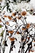Snow on dried seed heads