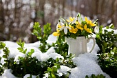 Small china jug of winter aconite (Eranthis) and snowdrops amongst box bushes in snow