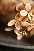 Close Up of Dried Hydrangea Flowers