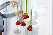 Woman pouring water into stems of suspended cut amaryllis