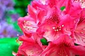 Pinkfarbener Rhododendron