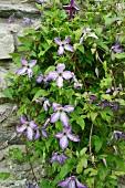 Purple-flowering clematis growing on rustic stone wall