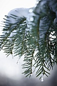 Snow-covered conifer