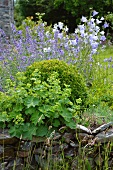 Ladies' mantle (Alchemilla), box (Buxus), blue harebells (Campanula) and cat mint (Nepeta) behind dry stone wall