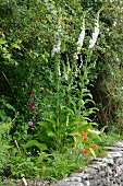 White foxglove (Digitalis) at edge of path on top of stone wall