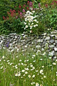 Flower meadow planted with ox-eye daisies (Chrysanthemum leucanthemum) and valerian (Centranthus) in front of stone wall in wild garden