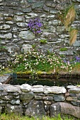 Harebells (Campanula) and fleabane (Erigeron hybrid) growing out of stone wall surrounding water basin in cottage garden