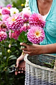 Woman cutting dahlias in garden