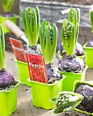 Hyacinths in green plastic pots with labels