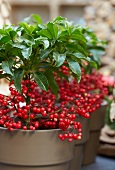Christmas arrangement of Ardisia crenata in planters