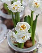 Narcissus 'Bridal Crown' in preserving jars (close-up)