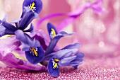 Iris reticulata in gift bag