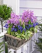 Window box of hyacinths and iris on terrace
