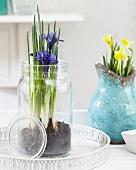 Iris reticulata in preserving jar and blue ceramic vase of narcissus