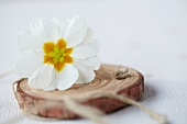 White primula flower and twine on disc of wood