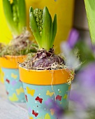 Sprouting hyacinths in pots with cheerful butterfly motif
